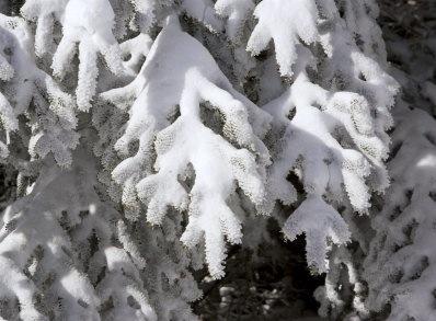 Snowdetailconifer